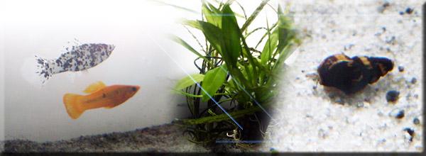aquarium_corvintaurus